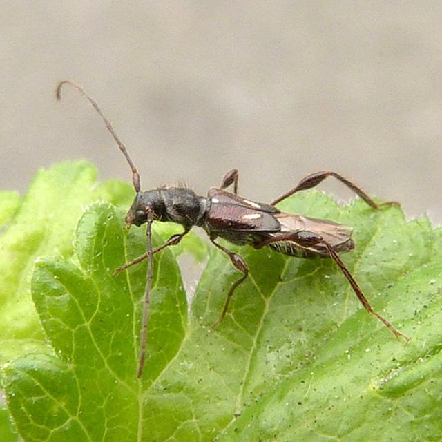 Molorchus minor
