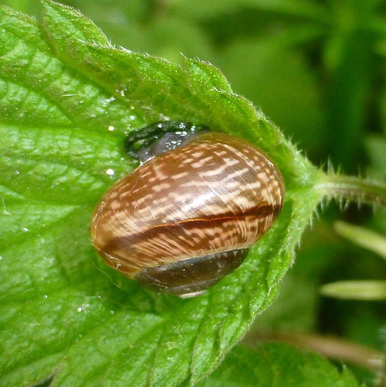 Copse Snail
