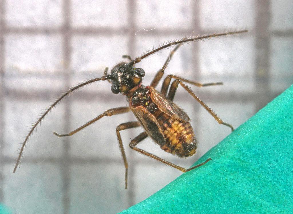 Epicaecilius pilipennis